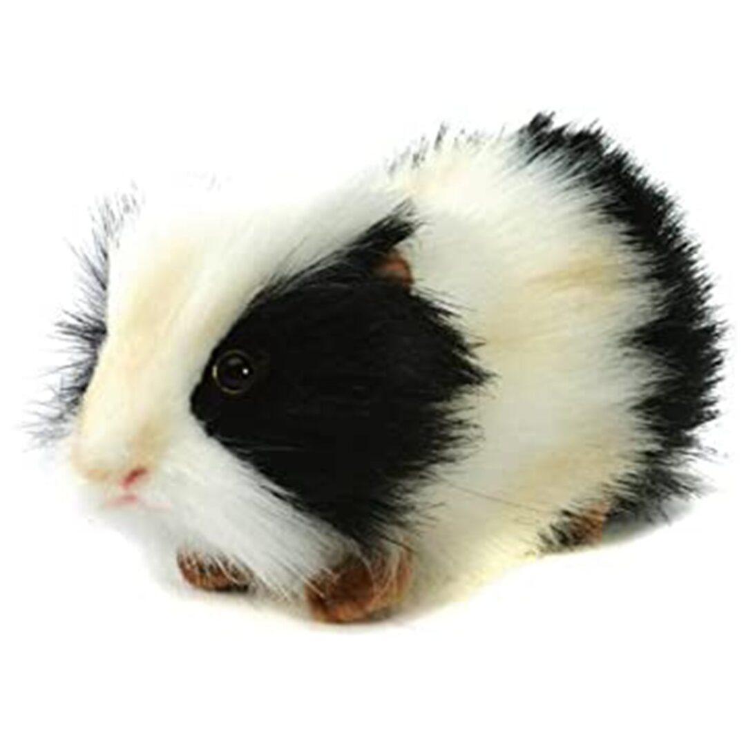 Guinea Pig Hansa-min